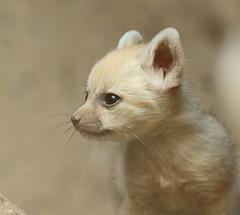 fennec artis BB2A0844 (j.a.kok) Tags: fox vos fennek fennec woestijnvos dessertfox artis animal africa afrika canine mammal zoogdier dier predator