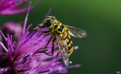 Ein Wunder der Natur (roland_lehnhardt) Tags: canon eos60d ef100mmf28macrousm insekten tiere macro nahaufnahme grosaufnahme bokeh lila