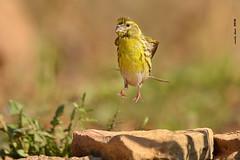 Levitando* (Enllasez - Enric LLaó) Tags: aves aus bird birds ocells pájaros 2018 cerveradelmaestre cerveradelmaestrat cervera gafarró serín