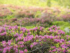 P6100046 (turbok) Tags: almlandschaft almrausch alpenpflanzen landschaft pflanze wildpflanzen c kurt krimberger
