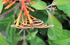 Brookside Gardens ~ nectaring upside down (karma (Karen)) Tags: wheaton maryland brooksidegardens parks wingsoffancy butterflyexhibit dof bokeh hbw cmwd