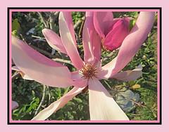 Magnolia Tuesday (bigbrowneyez) Tags: flower macro blossom bud bloom fabulous magnolia year year3 gorgestrikingous gorgeous striking stunning amazing detailed petals precious myfrontgarden dof rock lovely rich elegant elegance bello bellissimo dolce fioro fleur flowers magnoliatuesday pink sweet light sunshine