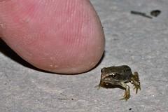 Tiny (ashperkins (dont follow me i`m lost)) Tags: froglet commonfrog finger ashperkins macro closeup graig glanconwy northwales inthegarden