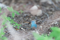 Blue waxbill. (annick vanderschelden) Tags: bluewaxbill waxbill bird soil ground wilderness dry branch leaf namibia