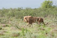 Lion. (annick vanderschelden) Tags: lionesses lion lioness cat mammal wildlife animal nature savannah bush grassland southernafricanlionesses etoshanationalpark grass trees africa southernafrica male namibia