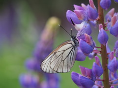 the hypnotic stare of a strange new friend (michaelmueller410) Tags: black veined white aporia crataegi lupine schmetterling butterfly tagfalter baumweissling baumweisling insekt insect natur harz flower wildflower lichtung clearing forest wald purple lila closeup