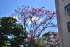 CSC_0920 (Proflázaro) Tags: brasil df cidade brasília planopiloto asasul jardim canteiro árvore ipêroxo árvoredocerrado flordocerrado cerrado flordebrasília paisagemurbana natureza ecologia nikond3100 céu nuvem