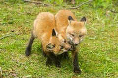 IMGL1415 Pugwash Red Fox Kit(s) (Wallace River) Tags: foxes novascotia pugwashfoxes redfoxes