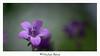 bleu... (gimi.bene) Tags: flower fleur flou macro planrapproché grosplan profondeurdechamp proxy