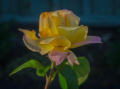 Troika rose (frankmh) Tags: plant rose troikarose hittarp skåne helsingborg sweden macro