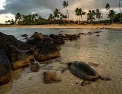Green Sea Turtle at Poipu Beach Park (Thanks for 1.5 million views) Tags: turtle hawaii kauai poipu beach sand