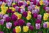 Panasonic FZ1000, Tulips, Botanical Gardens, Montréal, 13 May 2018 (23) (proacguy1) Tags: panasonicfz1000 tulips botanicalgardens montréal 13may2018