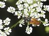 Fairy-ring Longhorn Beetle - Pseudovadonia livida (Prank F) Tags: rspb thelodge sandy bedfordshireuk nature wildlife insect macro closeup beetle longhorn cerambycidae fairyring pseudovadonialivida