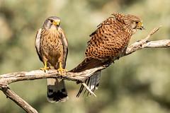 Kestrel pair (ian_tilden) Tags: pairing breedingseason serbia falcotinnunculus kestrels