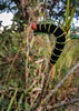 What will I be when I grow up? (tquist24) Tags: outdoor pseudosphinxtetrio samsung samsunggalaxys7 stthomas usvirginislands virginislands animal caterpillar cellphone colorful critter grass insect island nature stripes tropical upclose
