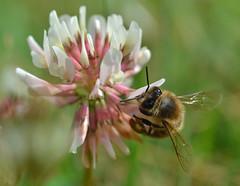 honey bee on white clover - Trifolium repens (conall..) Tags: trifolium repens trifoliumrepens white clover whiteclover macro raynox dcr250 honey bee honeybee