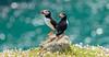 Puffins (warren hanratty) Tags: skomer warrenhanrattyphotography fraterculaarctica wildlife puffin nature bird pembrokeshire skomerisland bokeh canon7dmkiii day