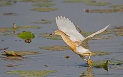 Squacco Heron: Ardeola ralloides (Explored) (renzodionigi) Tags: rallenreiher héroncrabier garcillacangrejera