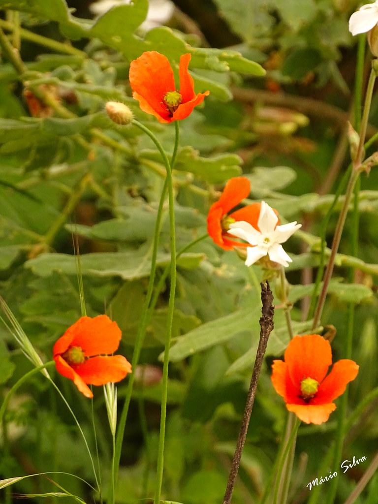 Águas Frias (Chaves) - ... papoilas e outras flores campestres ...