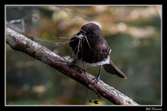 Black Phoebe-6 (billthomas_steel) Tags: blackphoebe sayornisnigricans bird rarebird fraservalley wildlife flycatcher britishcolumbia canada canon eos7dmarkii nestbuilding