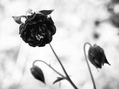 Fetching (RJS_Photo) Tags: nature flowers fleur blumen buds blooming blossom blooms leaves blackandwhite backlight stem petals shadows wildflowers dark black white
