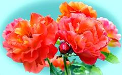 Roses for you and you ... ! (Uhlenhorst) Tags: 2018 germany deutschland bavaria bayern plants pflanzen flowers blumen blossoms blüten ngc queenrose arosebyanyothername