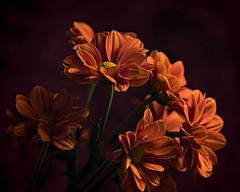 Orange Mums at Dusk 1107 (Tjerger) Tags: nature flower flowers bloom blooms blooming natural flora floral blackbackground portrait beautiful beauty black orange green fall wisconsin macro closeup yellow group bunch mums mum duskplant
