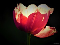 Sunny Tulip (Anton Shomali - Thank you for over 1 million views) Tags: sky beauty beautiful brighten bright shadow tulips redtulip summerflower summer sun tulip flowers flower sunny sunnytulip red