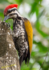 _DSC9088 (melvhsc100) Tags: nature wildlife bird woodpecker greenery park tampinesecopark tree colorful bokeh lightandcolors nikon7200 tamron150600mm