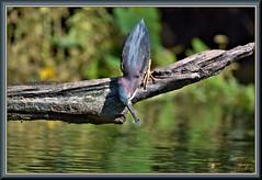 He was very successful (WanaM3) Tags: wanam3 nikon d7100 nikond7100 texas pasadena clearlakecity horsepenbayou bayou outdoors natrue wildlife canoeing paddling naturephotography animal bird heron greenie greenheron