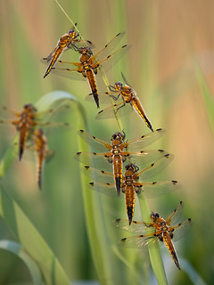 Four-spotted chasers (Ham Wall)