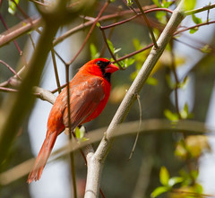 Mr. Cardinal Profile (John Kocijanski) Tags: red cardinal bird bokeh wildlife nature canon70300mmllens canon7d