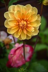 Mellow Yellow (Jocey K) Tags: dahlia newzealand nikond750 christchurch flower