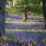Bluebells and trees thumbnail