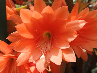 My lovely cactus flowers