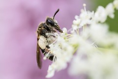 In the Pink (gavsidey) Tags: pink insect macro d500 ngc white mining bee wildlife nature