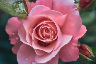 Rose - Saidar