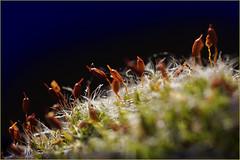 In the woods. Sometimes there is a glimmer of light on the horizon. (Gudzwi) Tags: moos moss wald woods intothewoods forest lichtstreif glimmeroflight allnatural mm hmm dunkel dark darkbackground darkness dunkelheit sonnenlicht sunlight waldboden forestfloor macro makro macromondays macroorcloseup macromonday natürlich gegenlicht backlight dunklerhintergrund 7dwf 7dwfmondaysanythinggoesmondays anythinggoesmondays