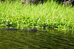 DSC00447.jpg (joe.spandrusyszyn) Tags: unitedstatesofamerica americanalligator florida paynespraire crocodilia nature byjoespandrusyszyn gainesville animal alligatormississippiensis reptile vertebrate alligatoridae alligator