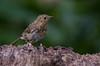 Young Robin (Chris Sweet 85) Tags: robin nature nikon nikond7100
