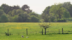 Lambs (graemes83) Tags: pentax tree lamb sheep field grass green yellow