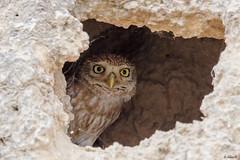 Little owl (Dave 5533) Tags: owl littleowl animal birdofprey wild nature outdoor bird birdphotography birdsinisrael birwatching canoneos1dx canon300mmf28 canon1dx wildlifephotography owls inexplore ngc npc