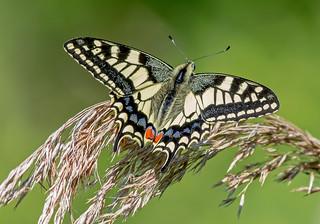 DSC6847  Swallowtail...