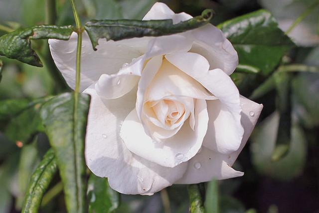 Neu rose