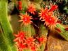 rot und grün- Kakteenblüten (evi früher evioletta) Tags: kakteen blüten rot botanischergarten kiel