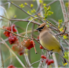 Cedar Waxwing (Summerside90) Tags: birds birdwatcher cedarwaxwing may spring migration nature wildlife ontario canada