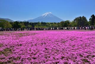 Fuji Shibazakura Festival 富士�櫻季