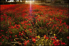 Mille papaveri rossi (robertar.) Tags: papaveri rosso campo campagna poppies primavera toscana tuscany luce sole tramonto sunset