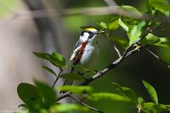 Chestnut-sided Warbler (mobull_98) Tags: chestnutsidedwarbler warbler