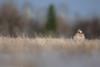 Sharp-tailed Grouse / Tétras à queue fine (www.andrebherer.com) Tags: bird birds oiseau oiseaux grouse tetras sharptailedgrouse tetrasaqueuefine nature faune fauna wildlife abitibi quebec canada andrebherer